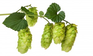 Hops on the branch. The new Shephard Neame beer will be made with east Kent goldings, one of Britain